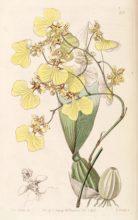 oncidibicolor