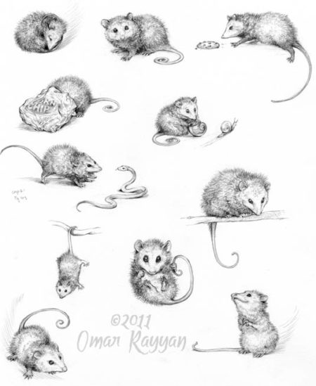 omar-rayyan-possum